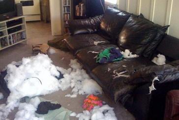 Mon chien détruit tout en mon absence